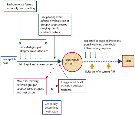 figure pathogenetic pathway for arf and rhd the  pathogenetic pathway for arf and rhd 2 the descriptive epidemiology of acute rheumatic fever and rheumatic heart disease in low and middle income