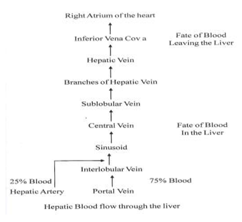 Figure 2. Liver Supply for Hepatic portal Vein and arteries ...