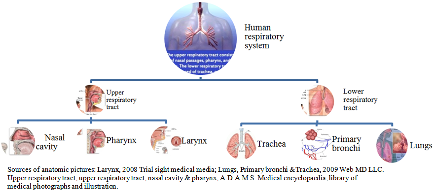Figure 5 The Anatomy Of Organs Responsible For Human Respiration