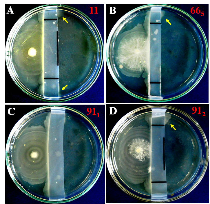 twitching motility  biofilm communities in cephalosporin resistant proteus spp and the best in