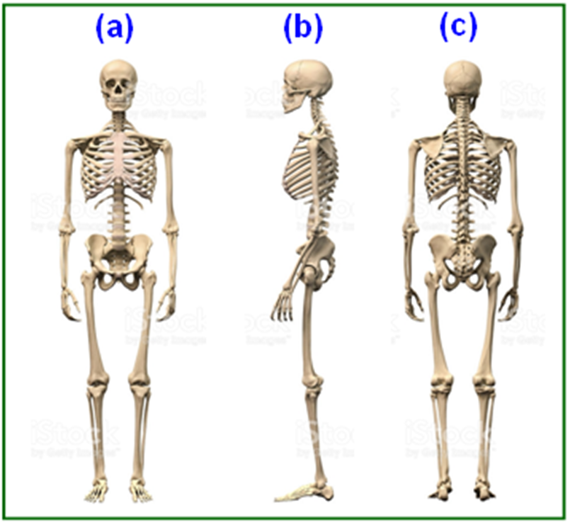 Figure 2 Bone Structure And Skeletal System Of Human Body A