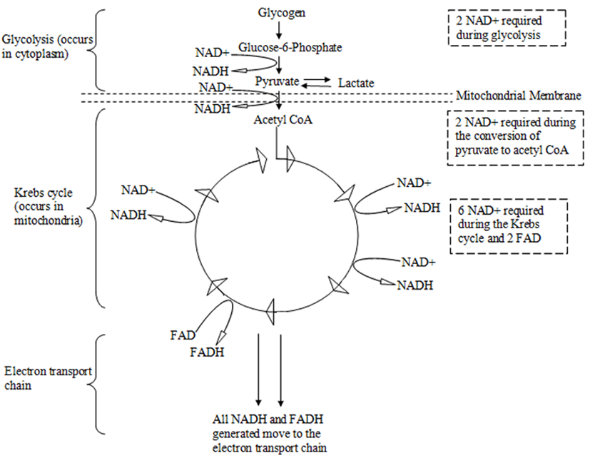 Figure 1 flow diagram representing the stages in energy metabolism flow diagram representing the stages in energy metabolism and how nad affects each of these stages nad is required largely during the krebs cycle but also ccuart Images