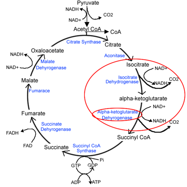 Figure 2 Diagram Depicting The Krebs Cycle In More Depth The Red