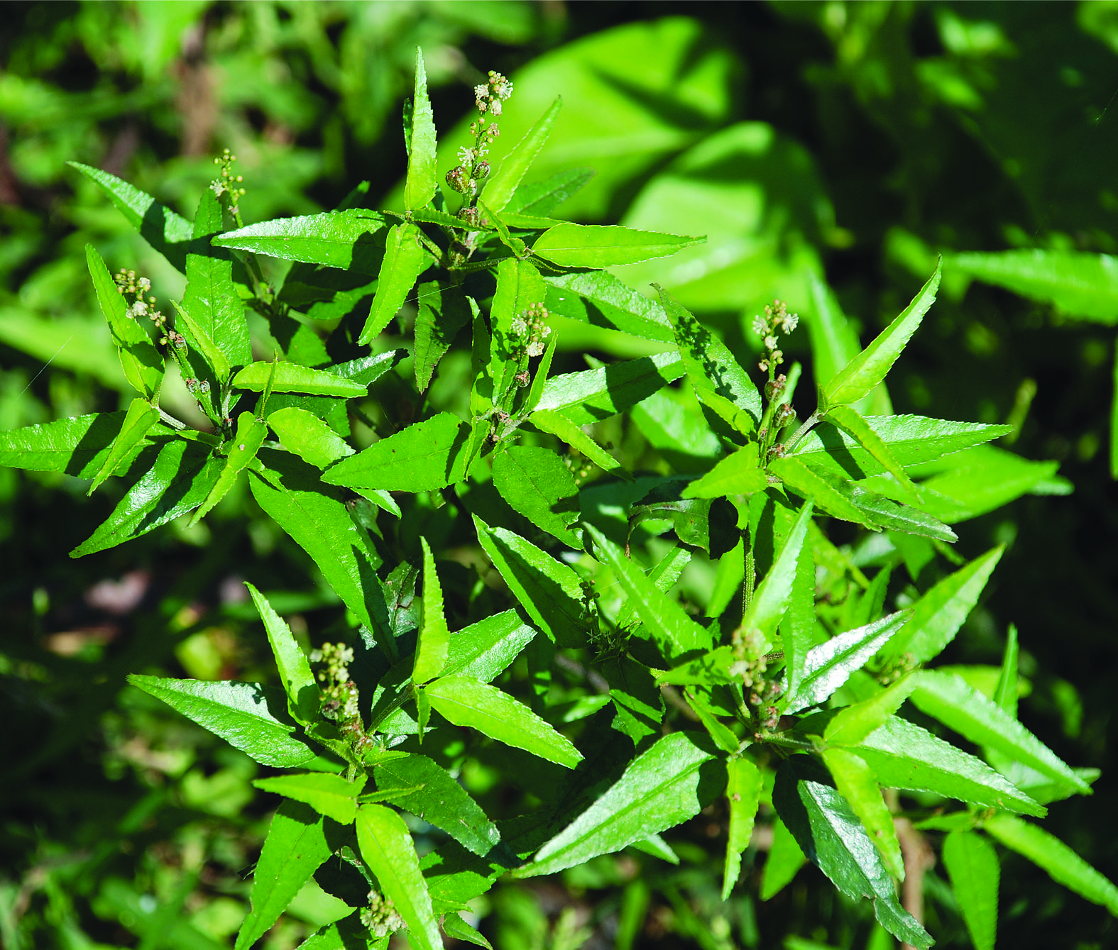 taxonomy and medicinal uses of euphorbiaceae spurge family of figure 10