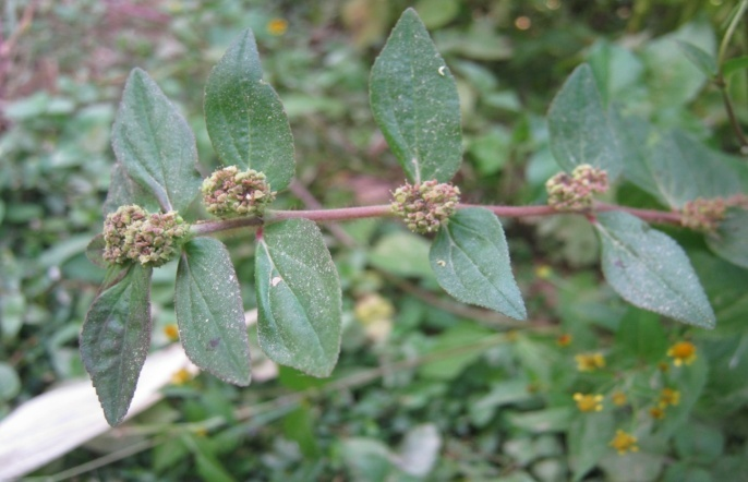 Taxonomy And Medicinal Uses Of Euphorbiaceae Spurge Family Of