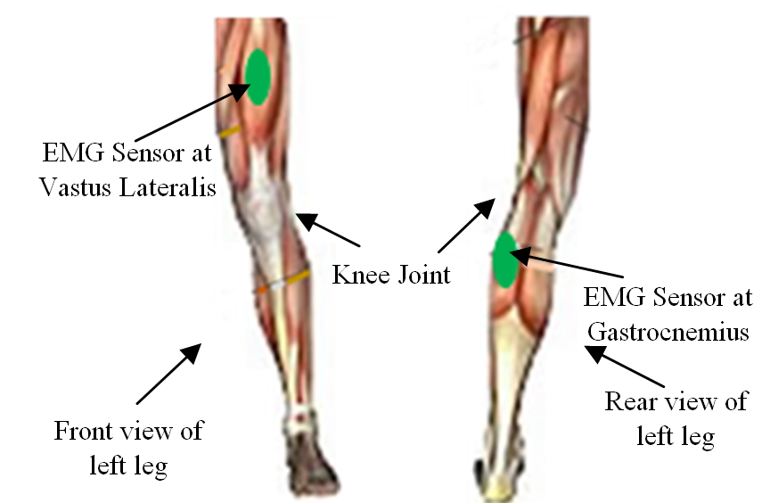 Emg Signals For Co Activations Of Major Lower Limb Muscles In Knee